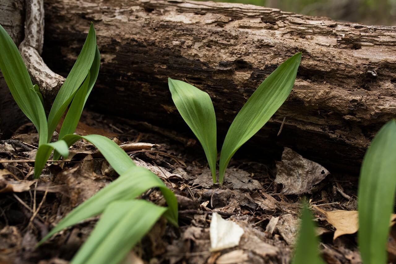 Where do Wild Ramps Grow