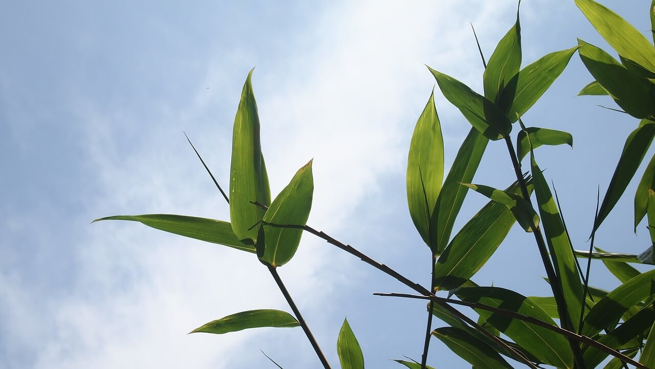 how often should you water bamboo