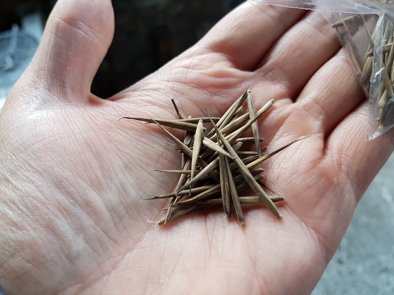 how do you grow bamboo from seed