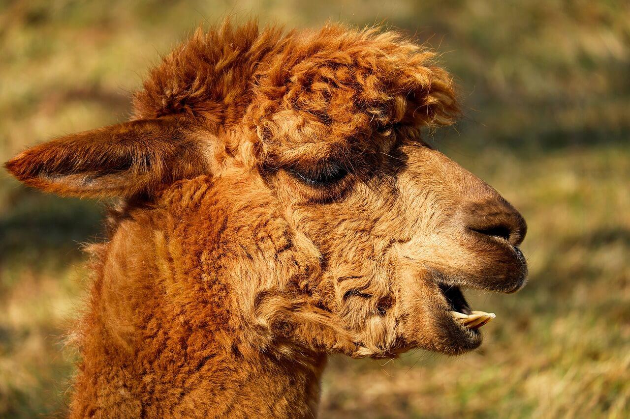 how to shear an alpaca