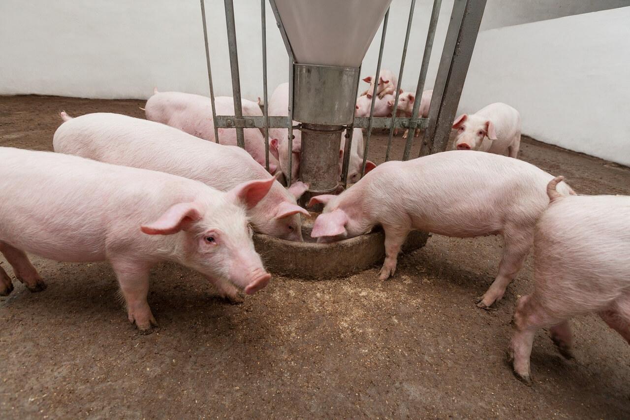 best pig feeder