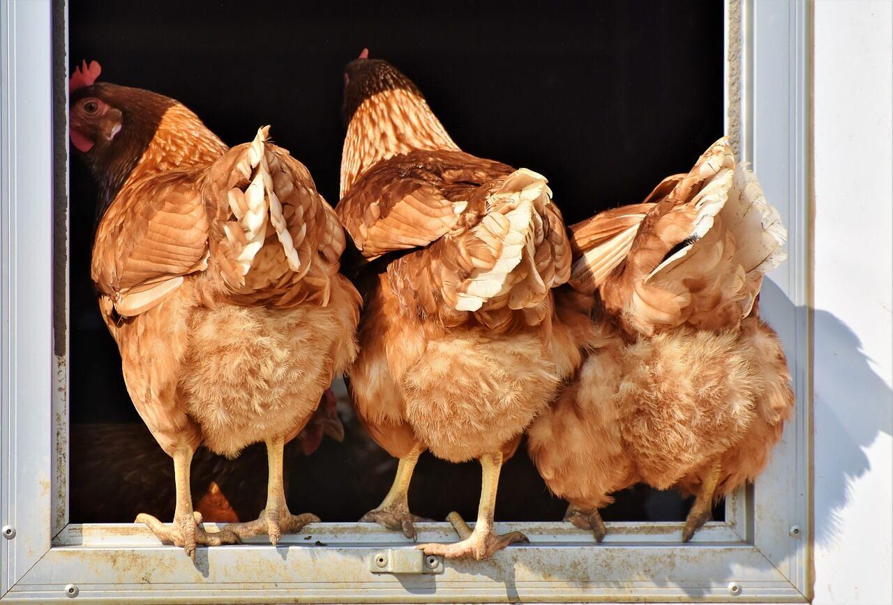 best chicken plucker for the money
