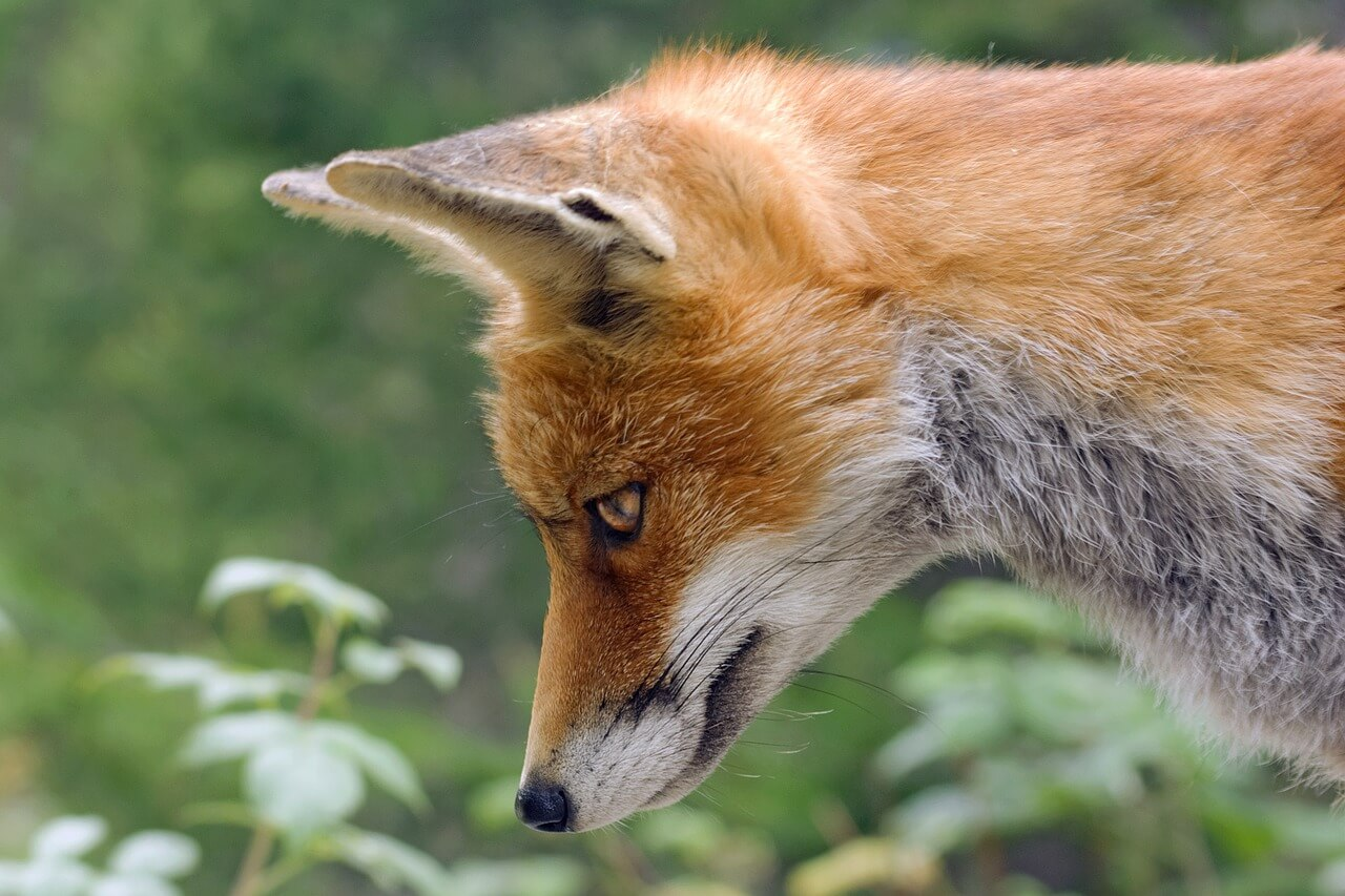 how do you keep foxes from killing chickens