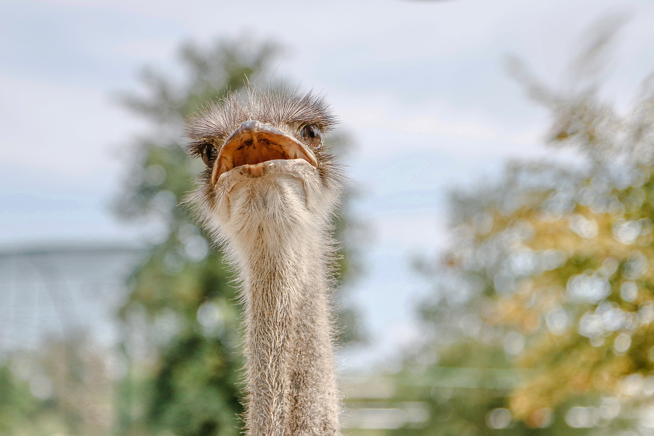 are domestic ostriches friendly or dangerous