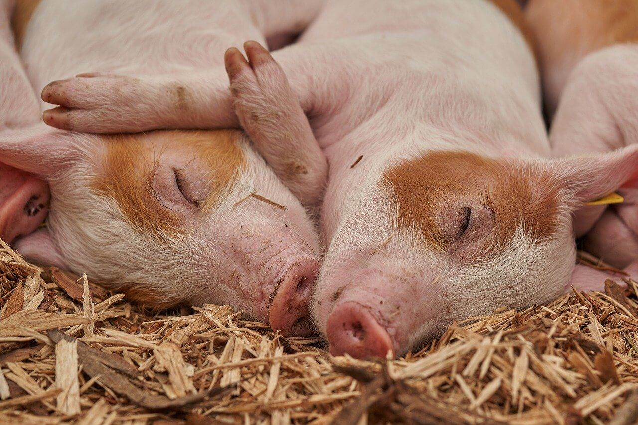how much space do you need for 2 pigs